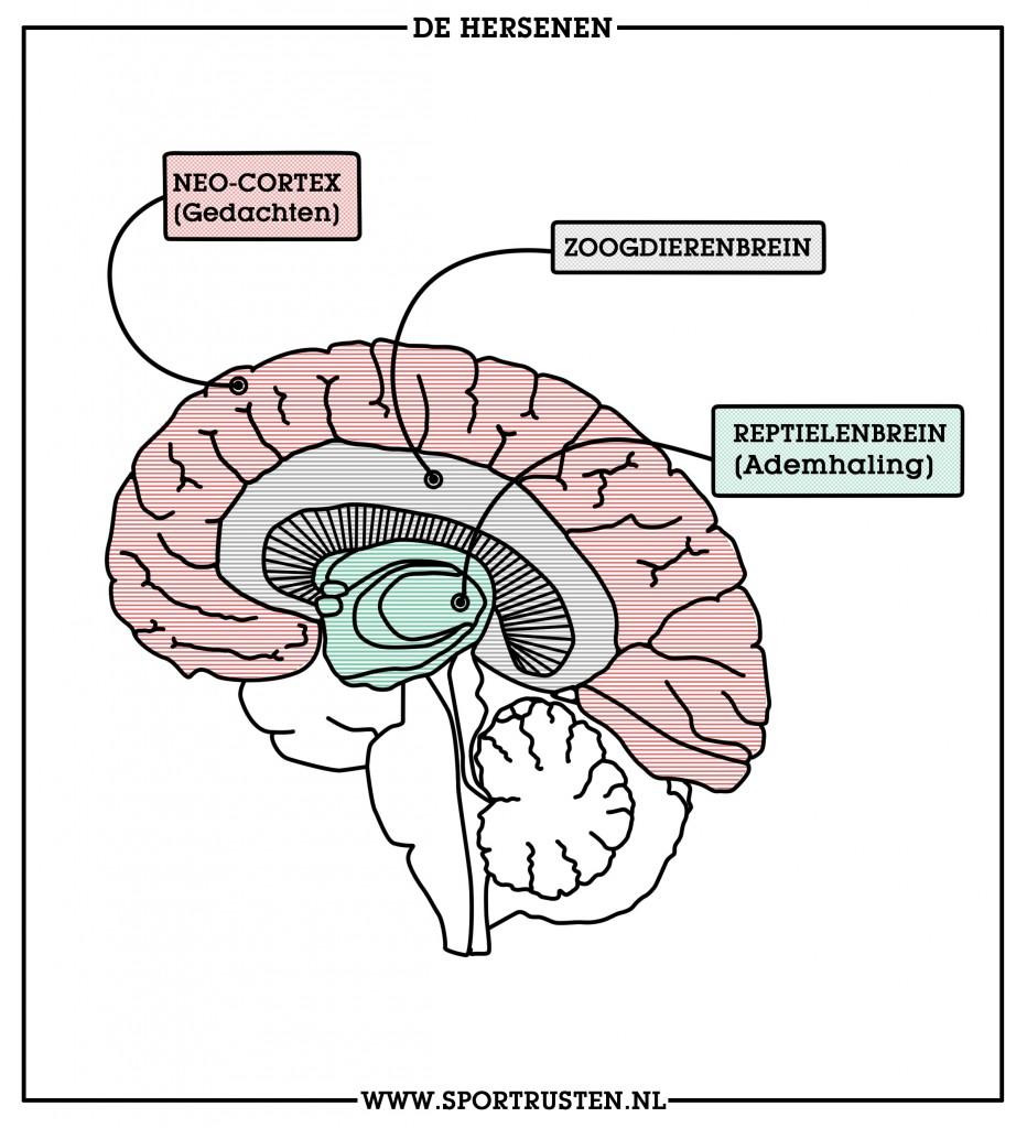 Onze ademhaling zetelt in het oudste deel van ons brein
